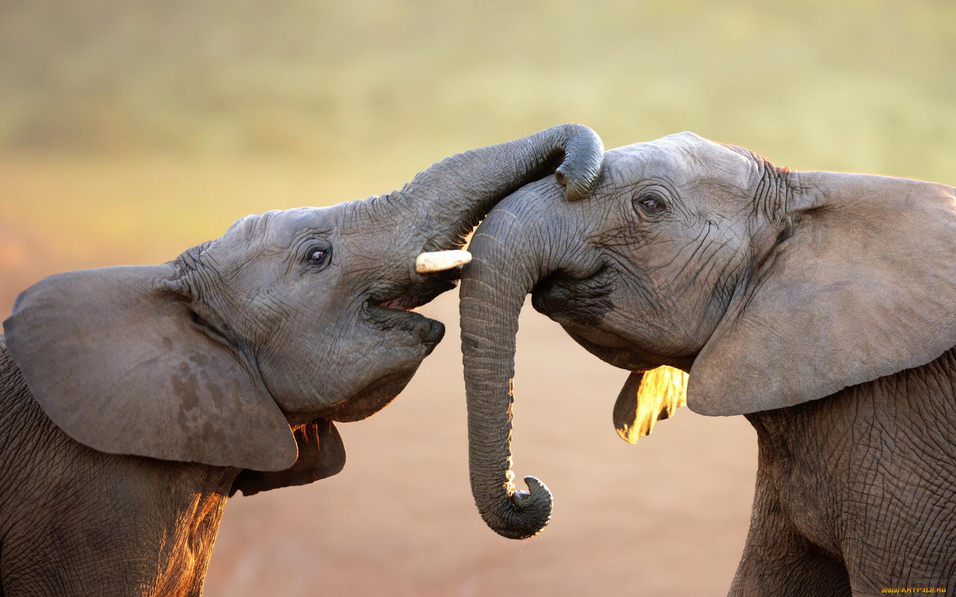 картинки слоны хоботом вверх для меня